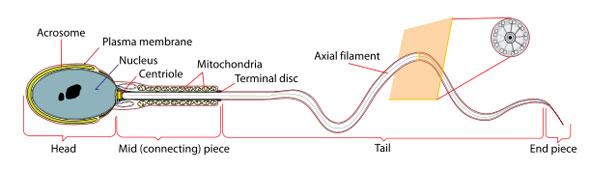 Spermatozoon-Diagram by Mariana Ruiz, License: Ppublic domain